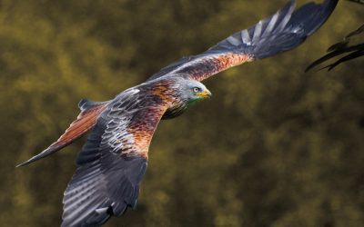 Shot red kite 'like balloon bursting'